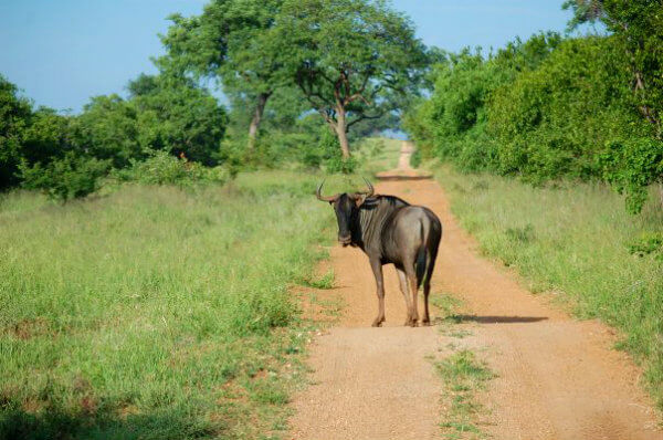 Following a lone wildebeest on the Kapama Private Reserve