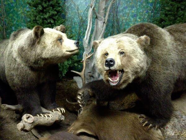 Bears @ Wildlife Museum, Whister's Inn, Jasper, Alberta, Canada