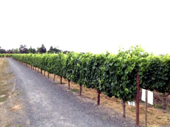 The jogging path through the vineyards