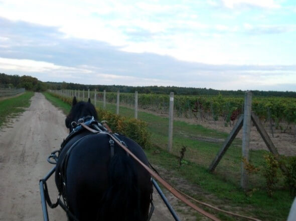 On a carriage ride past the palace's vineyards