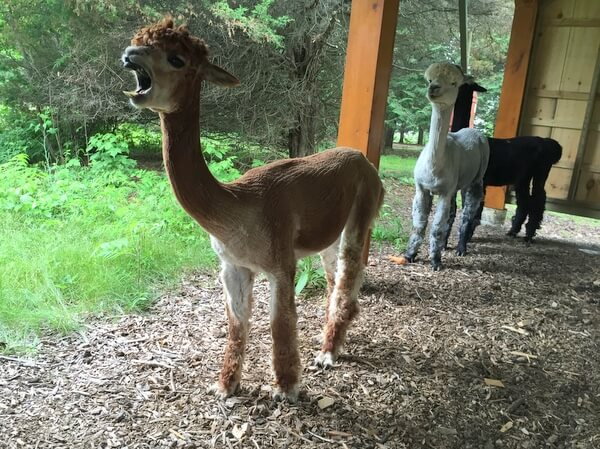Alpacas, Island Spirits, Rice Lake, Ontario