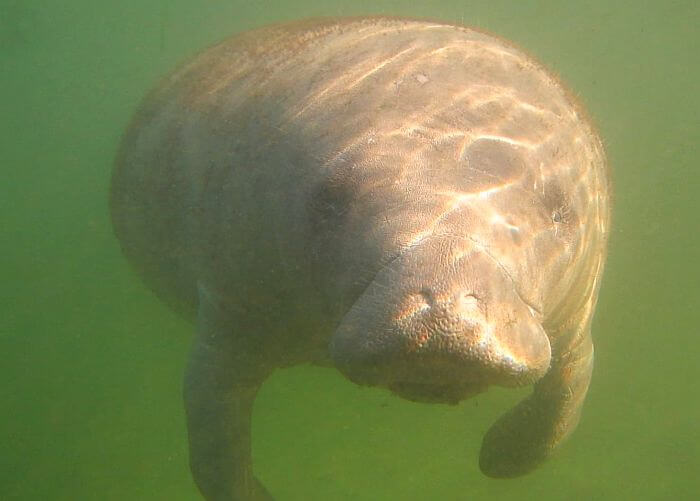 Swim with manatees at Plantation on Crystal River
