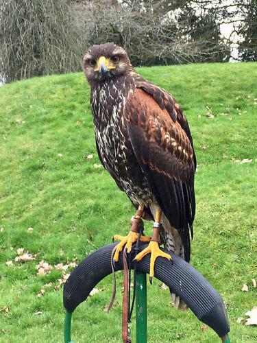 harris hawk, mount juliet, hawkeye falconry, falconry, hawk, ireland