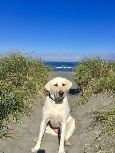 nala, labrador retriever, dog-friendly beach, gold beach, pacific reef hotel, oregon