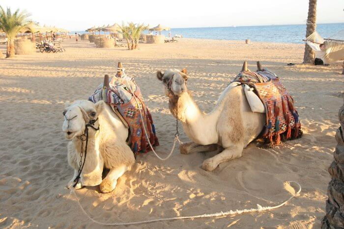camel rides, soma bay, egypt, red sea