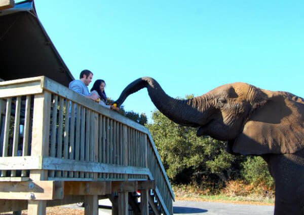 Feeding the elephants after breakfast at Vision Quest Ranch in Salinas, California
