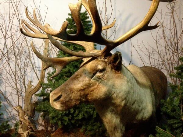 Moose @ Wildlife Museum, Whistler's Inn, Jasper, Alberta, Canada