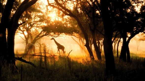Giraffes are one of the over 200 hoofed animals and birds residing in the savannahs surrounding the Animal Kingdom Lodge