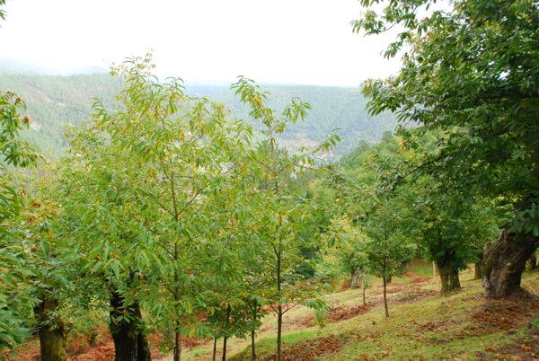 Chestnut trees near Parador de Santo Estevo