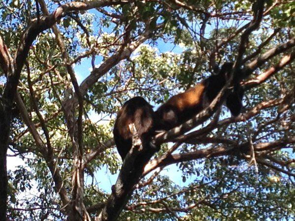 Howler monkeys, Aqua Wellness Resort, Nicaragua