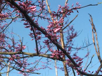 Redbud tree beginning to bloom- Jamie Rhein