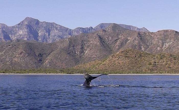 humpback whale tail Loreto