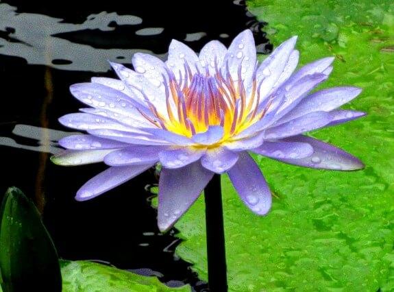 water lily at banjaran ipoh malaysia
