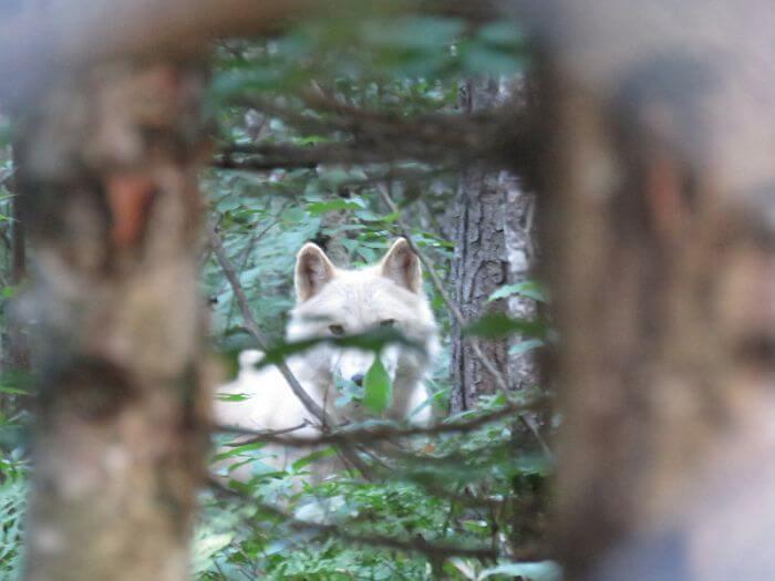 Watching wolf at Aventuraid