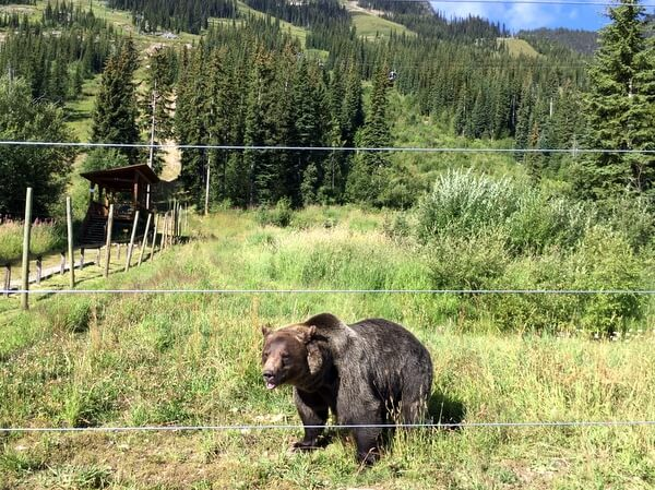 Grizzly bear, Kicking Horse Mountain Resort, Golden BC Canada