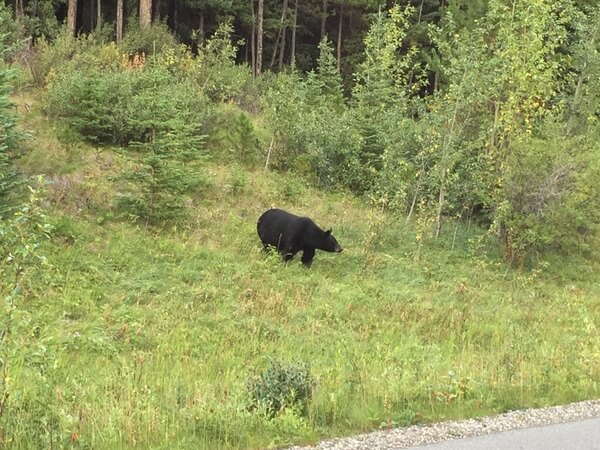 Bear! In Jasper National Park