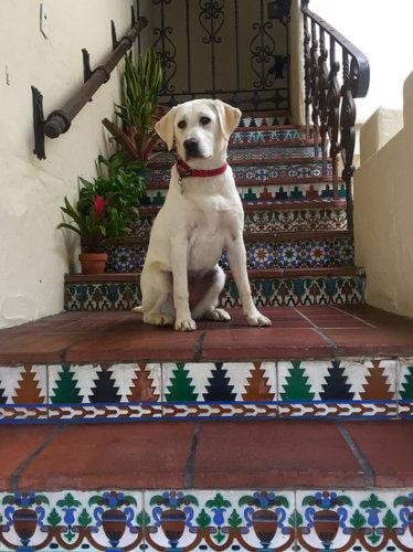 nala, labrador retriever, carmel, california