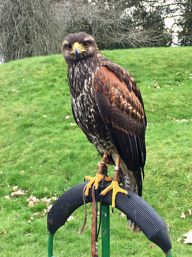 harris hawk, mount juliet, hawkeye falconry, falconry, hawk, ireland
