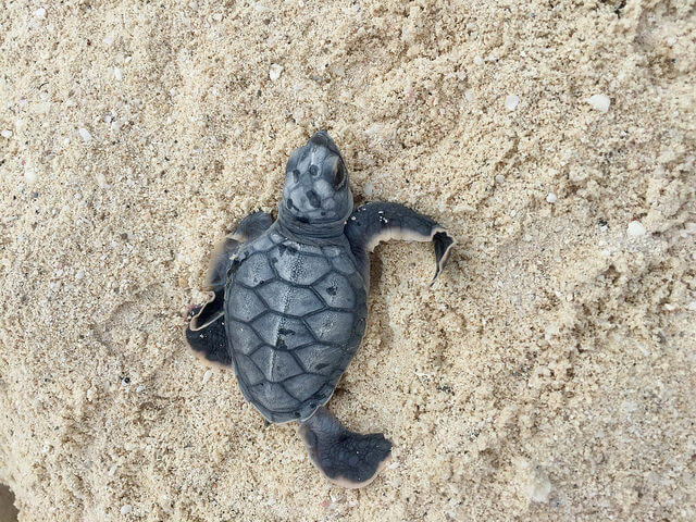baby green sea turtle, westin turtle care program, the westin lagunamar ocean resort, cancun, mexico