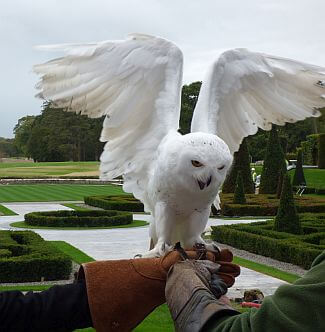 Adare Manor falconry owl