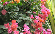bougainvillea (Photo by Susan McKee)