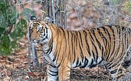 Sleeping with Tigers - India's Bandhavgarh Jungle Lodge