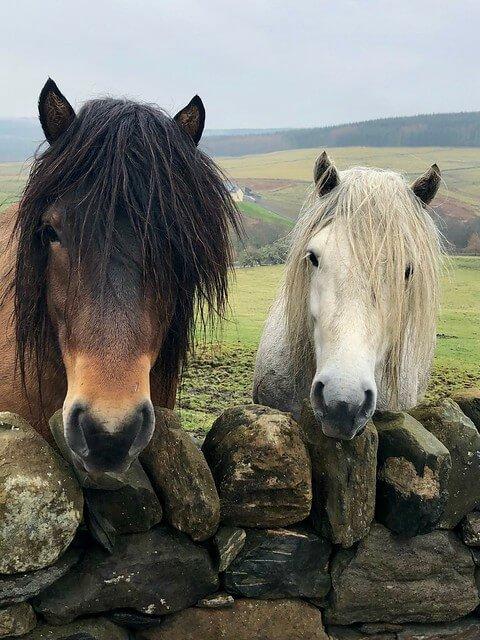 pedigree highland ponies, errichel farm highland perthshire, scottish highland ponies at errichel house