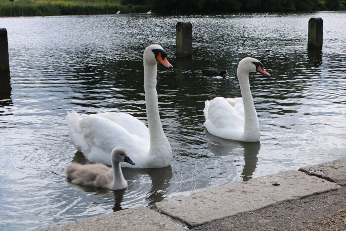 Swans at Hyde Park near Corus Hotel in London