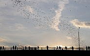 Bats at sunset in Austin Texas