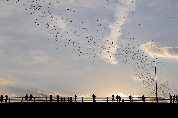 Bats at sunset in Austin Texas