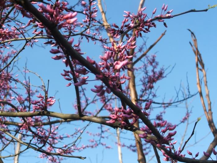 Redbud trees are Kentucky State Park beauty